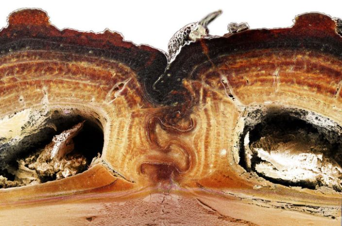 A cross-section of the medial suture, where two halves of the diabolical ironclad beetle's elytra meet, shows the puzzle piece configuration that's among the keys to the insect's incredible durability. / Credit: Jesus Rivera / UCI