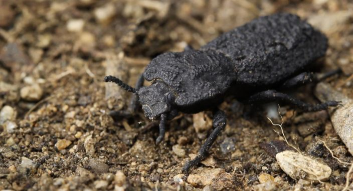 Native to desert habitats in Southern California, the diabolical ironclad beetle has an exoskeleton that's one of the toughest, most crush-resistant structures known to exist in the animal kingdom. / Credit: David Kisailus / UCI