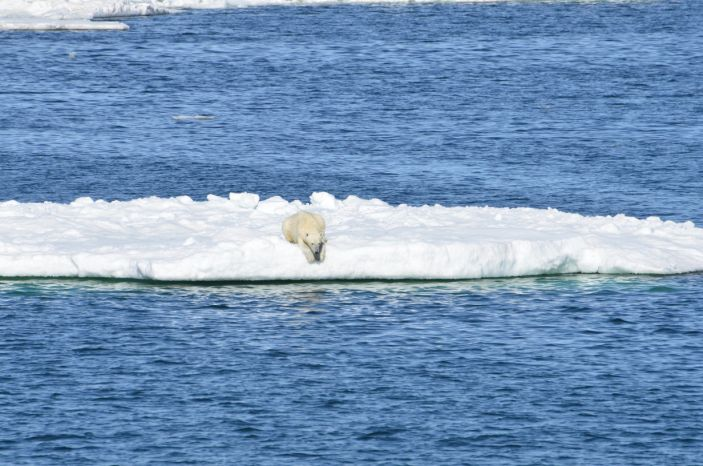 polarbear weightloss