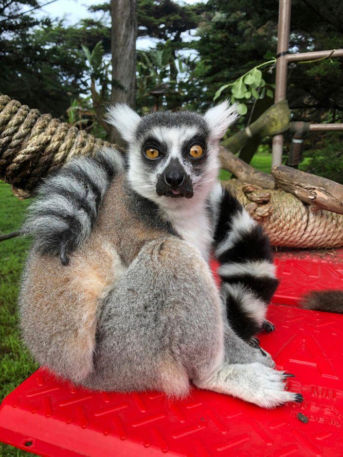 maki the lemur 2