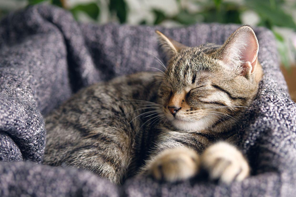 A relaxed tabby cat sleeps on a blanket. (Photo: Aleksandr Zubkov via Getty Images)