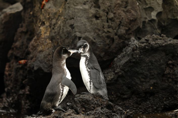 Two black and white Galapagos penguins rub beaks on a rocky outcrop